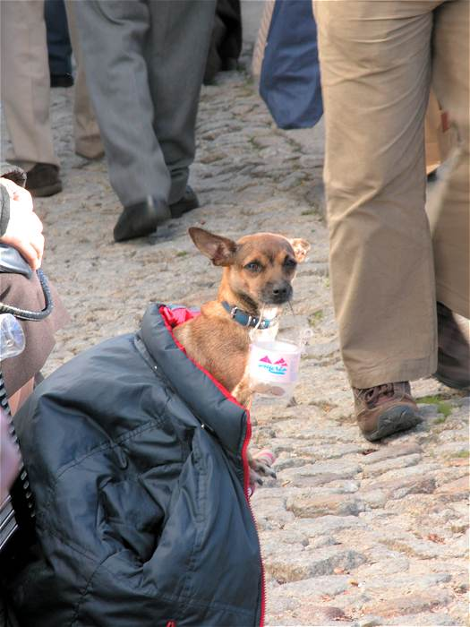 Busker's small dog wrapped in a coat holding collection money at the Marvao Chestnut Festival